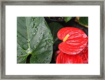 Red Anthurium Flower Framed Print