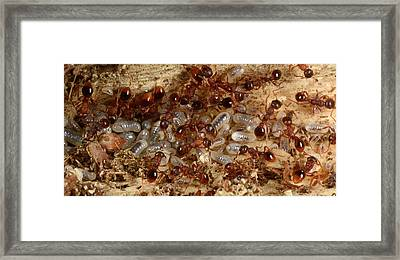 Red Ants With Larvae Framed Print by Nigel Downer