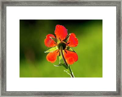 Red Avens (geum Coccineum) Flower Framed Print