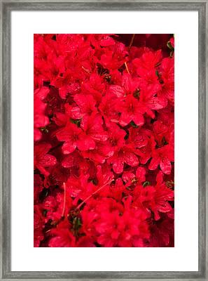 Red Azalias Framed Print by Paul Mangold