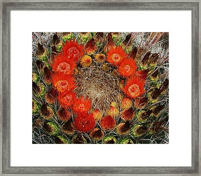 Framed Print featuring the photograph Red Barell Cactus Flowers by Tom Janca