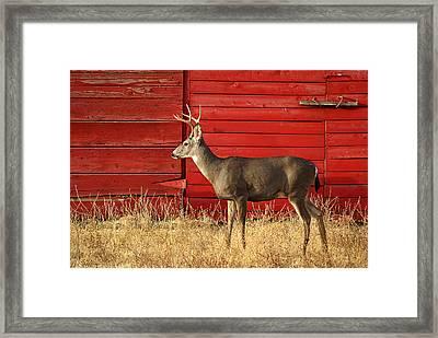 Red Barn Buck Framed Print