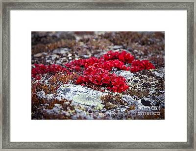 Red Bearberry Framed Print