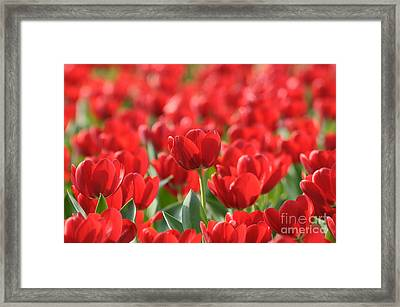 Red Beautiful Tulips Framed Print by Boon Mee