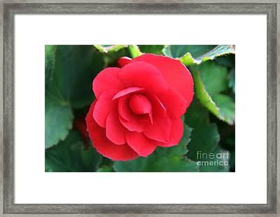 Red Begonia Framed Print by Sergey Lukashin
