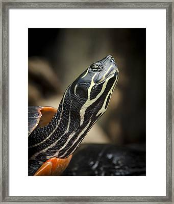 Red Bellied Cooter Framed Print by Bradley Clay