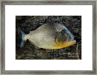 Red-bellied Piranha, Brazil Framed Print