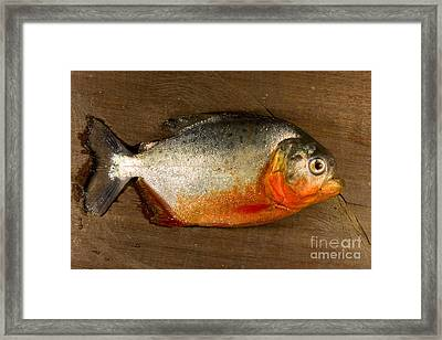 Red-bellied Piranha Framed Print
