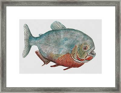 Red Bellied Piranha Framed Print by Richard Goohs