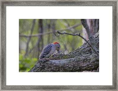 Red-bellied Woodpecker 2 Framed Print