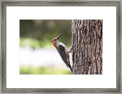 Red-bellied Woodpecker Framed Print by Dana Moyer