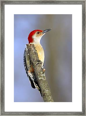 Red-bellied Woodpecker Framed Print by David Lester