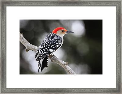Red-bellied Woodpecker Framed Print