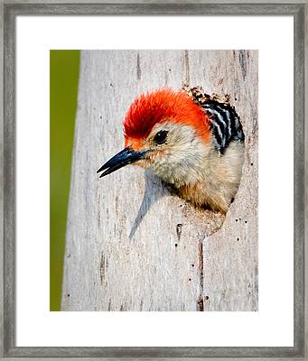 Red-bellied Woodpecker II Framed Print