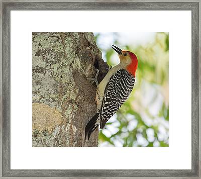 Red-bellied Woodpecker Framed Print by John M Bailey