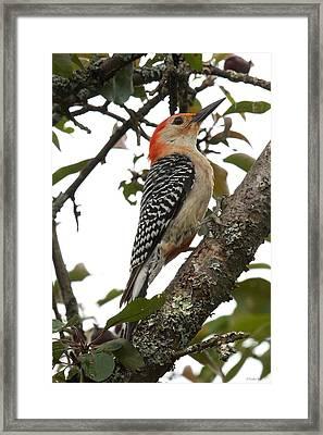 'red-bellied Woodpecker' Melanerpes Carolinus  Framed Print