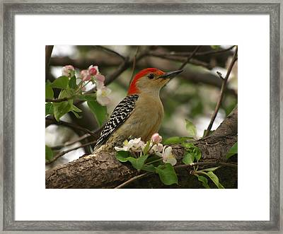 Framed Print featuring the photograph Red-bellied Woodpecker by James Peterson