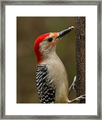 Red-bellied Woodpecker Framed Print by Robert L Jackson
