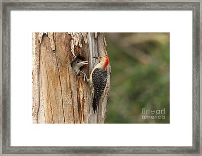 Red-bellied Woodpecker With Chick Framed Print by Jennifer Zelik
