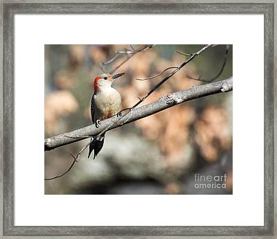 Red Belly Framed Print by Caisues Photography