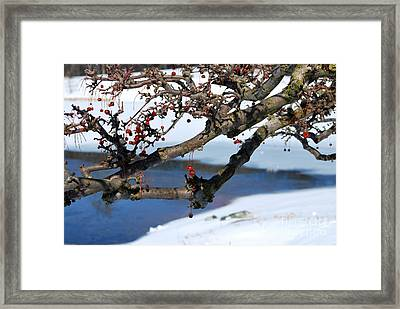 Red Berries And Branches In The Snow Framed Print by Nancy Mueller