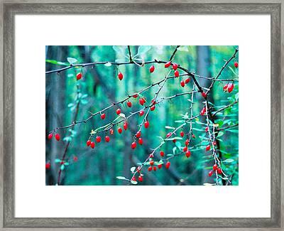 Red Berries In October Framed Print