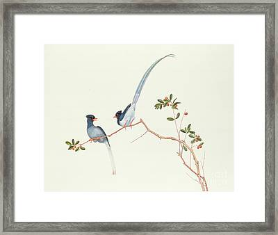 Red Billed Blue Magpies On A Branch With Red Berries Framed Print by Chinese School