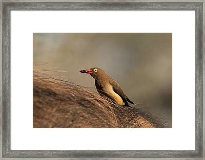 Red-billed Ox-pecker With Tick In Bill Framed Print by Tony Camacho