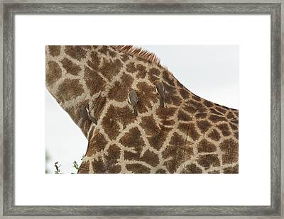 Red-billed Oxpeckers On A Giraffe Framed Print