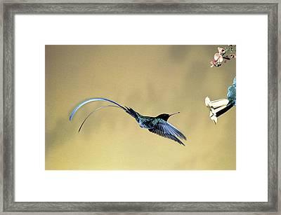 Red-billed Streamertail Hummingbird Framed Print by Bernard G. E. St. Aubyn