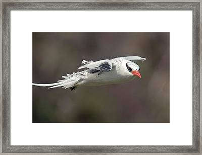 Red-billed Tropicbird In Flight Framed Print by Bob Gibbons
