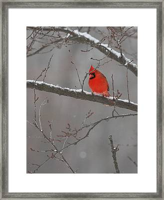 Red Bird Framed Print by Coby Cooper