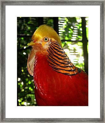 Red Bird Framed Print by Pamela Walton