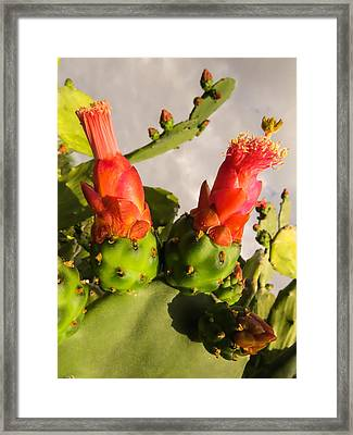 Red Blooming Cactus Framed Print by Zina Stromberg