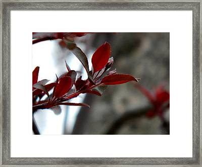 Red Blossom Framed Print by Wild Thing