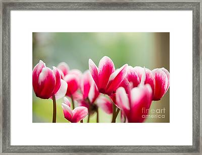 Red Blossoms Framed Print