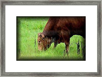 Red Brangus Bull Framed Print by Maria Urso