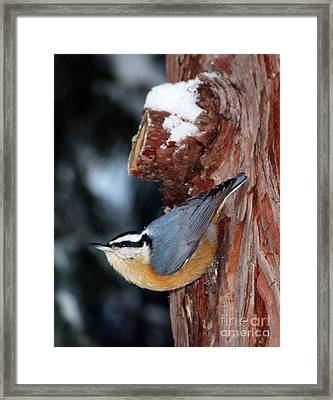 Red Breast Nuthatch  Framed Print by Irina Hays