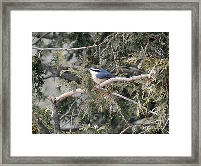 Framed Print featuring the photograph Red Breasted Nuthatch by Brenda Brown