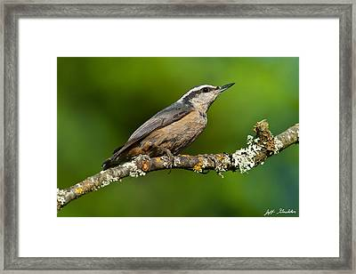 Red Breasted Nuthatch In A Tree Framed Print