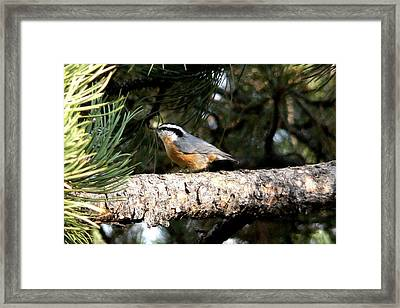 Red-breasted Nuthatch In Pine Tree Framed Print
