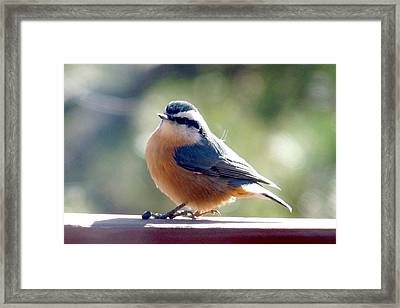 Red-breasted Nuthatch Framed Print by Marilyn Burton