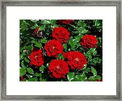 Red Brilliance Framed Print