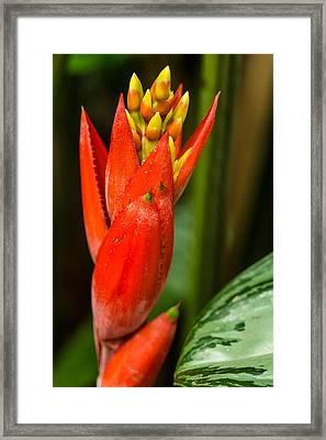 Red Bromeliad Bloom Framed Print by Eti Reid