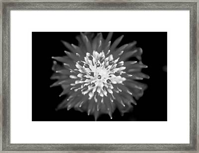 Red Bromeliad Painted Bw   Framed Print by Rich Franco