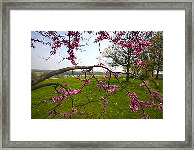 Red Bud Bloom Framed Print by John Holloway