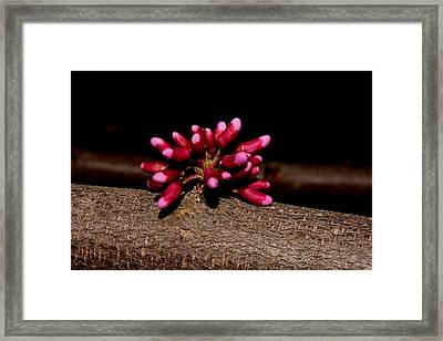 Red Bud Buds Framed Print