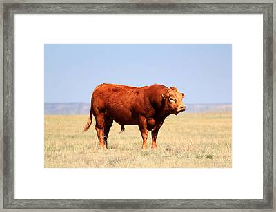 Red Bull Framed Print