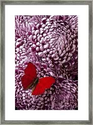 Red Butterfly On Red Mum Framed Print by Garry Gay