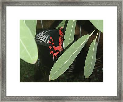 Framed Print featuring the photograph Red Butterfly by Robert Nickologianis